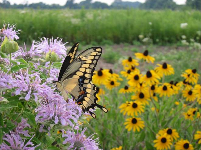 giant-swallowtail-adult