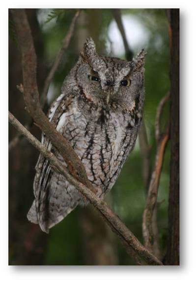 parent-owl