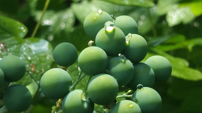 Blue Cohosh Seeds-2 B Porchuk.jpg