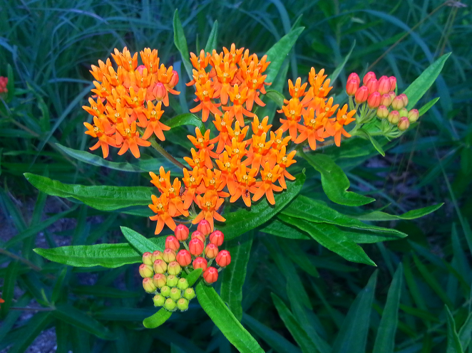 Butterfly Milkweed-1 B Porchuk.png