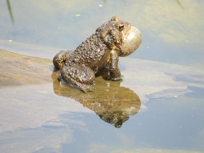 American Toad M Natvik.jpg