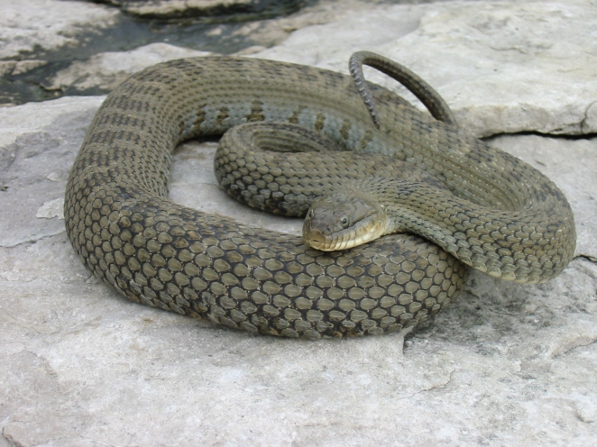 L Erie Watersnake Adult B Porchuk