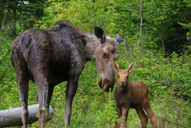 Moose and Calf Martyn Obbard.jpg