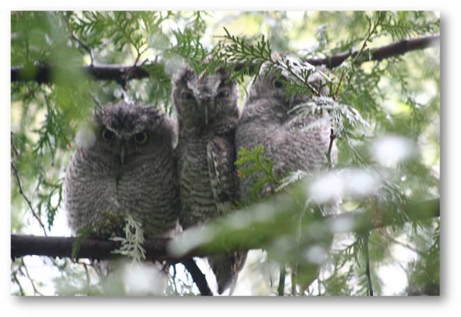 Young Screech Owls B Porchuk