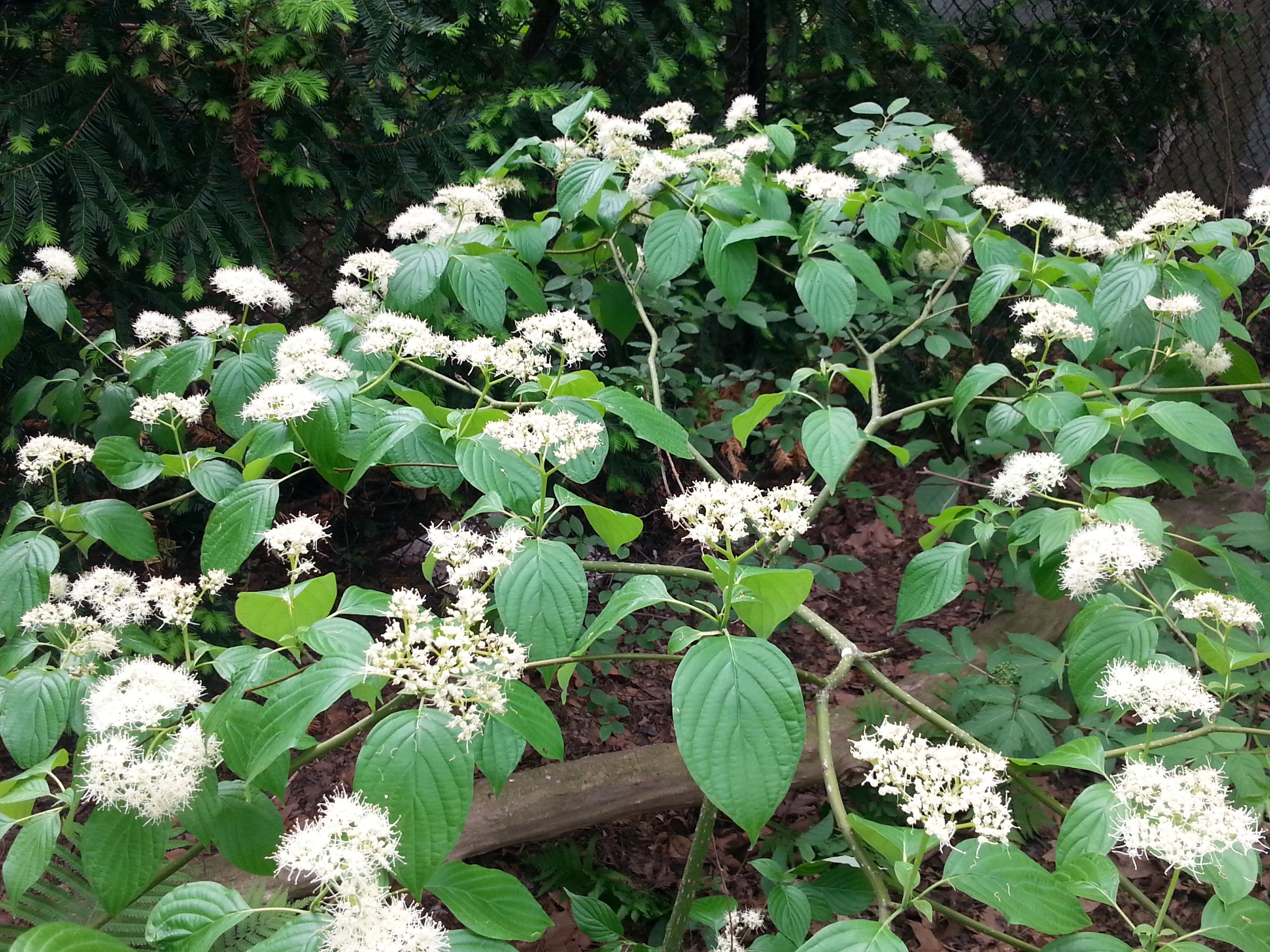 Alternate-leaved Dogwood In Flower B Porchuk.jpg