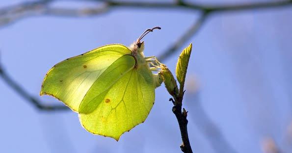 Brimestone Butterfly.jpg