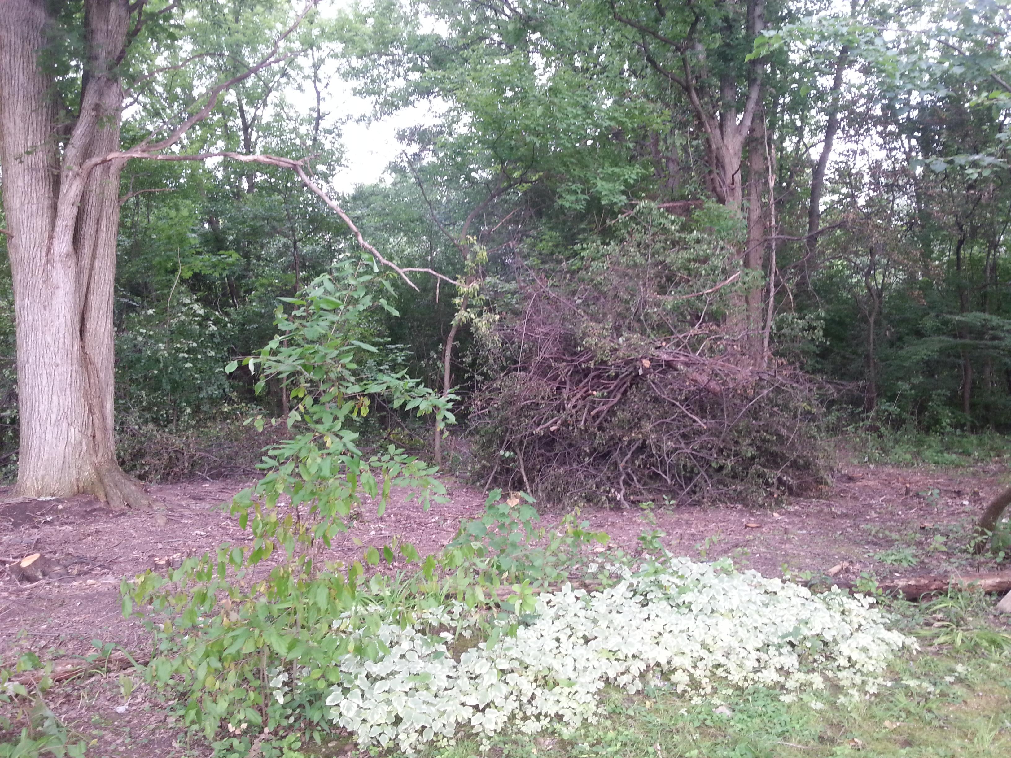 Buckthorn Pile & Goutweed.jpg