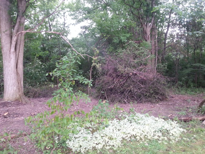Buckthorn Pile & Goutweed.jpg