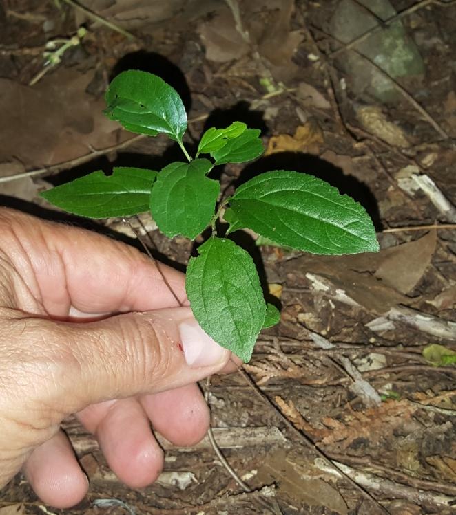 E Buckthorn Seedling.jpg