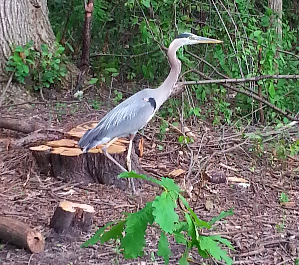GBH Visitor to Mother Buckthorn Stump-B.png