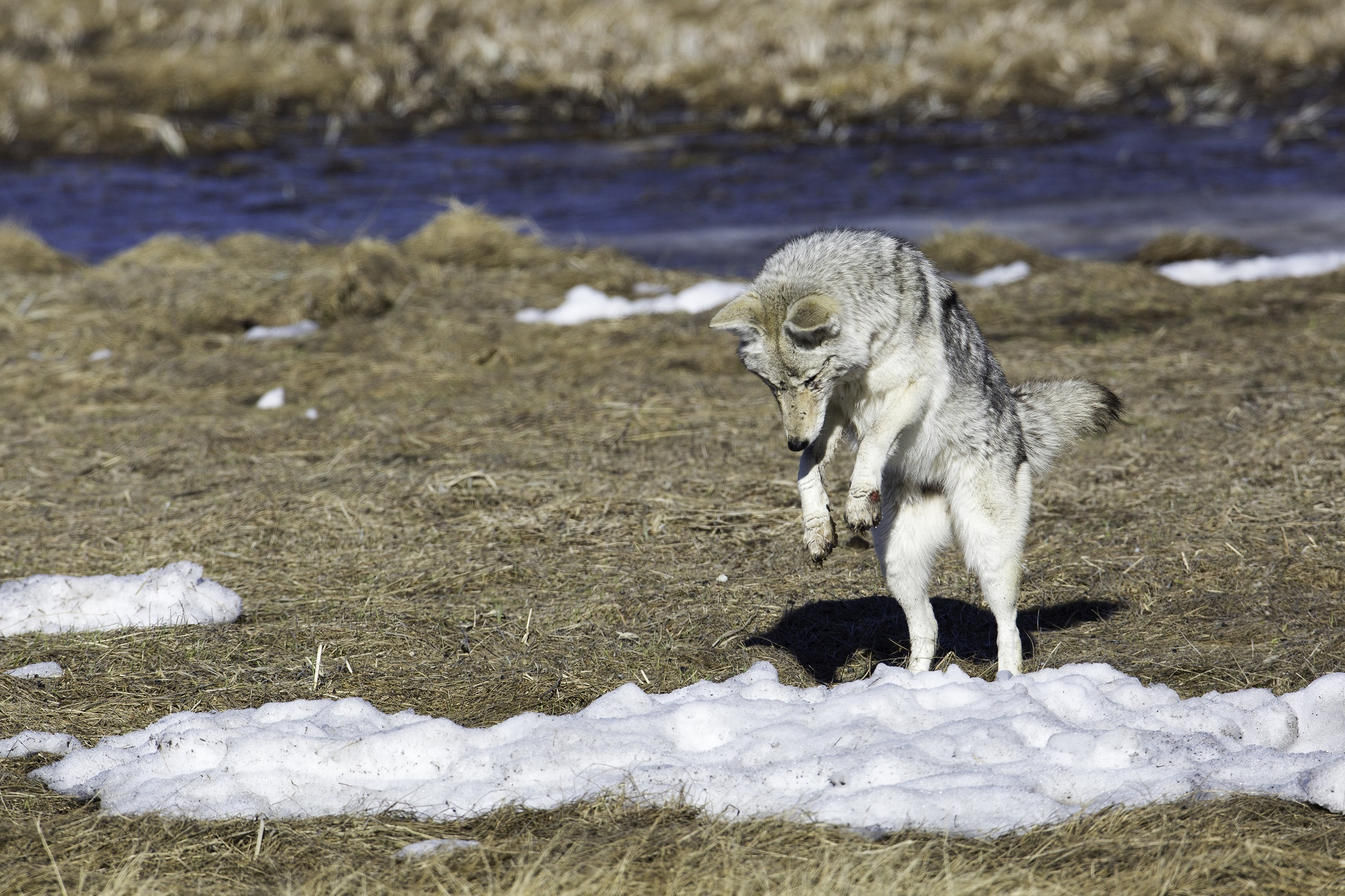 coyote-dancing on prey