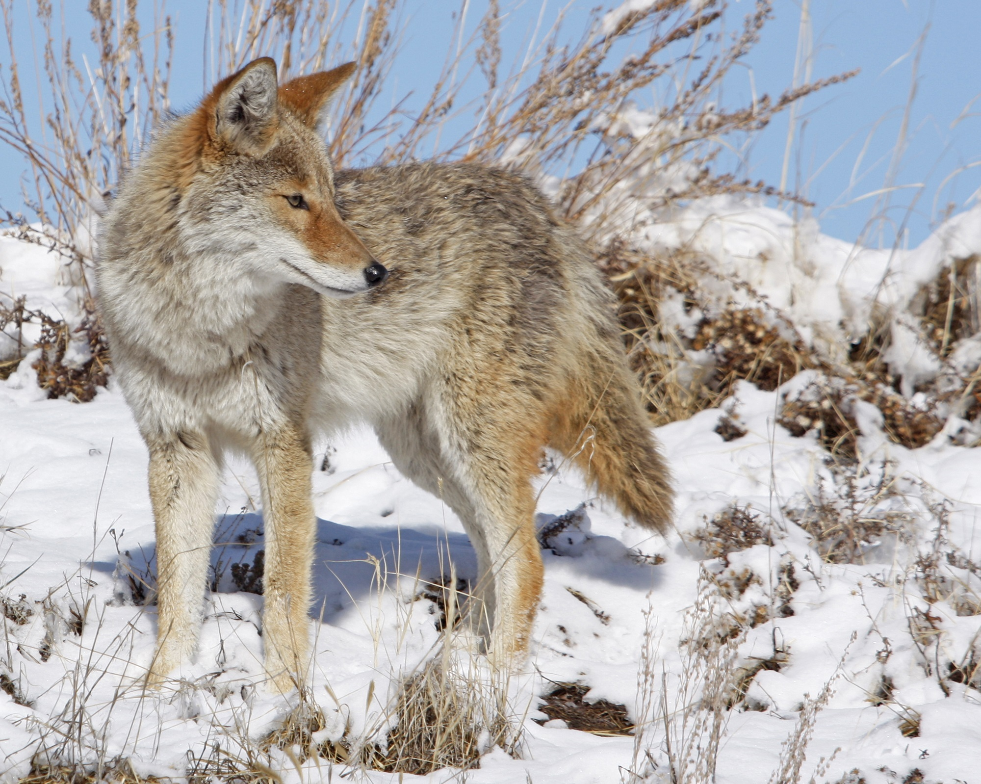 coyote-in-snow