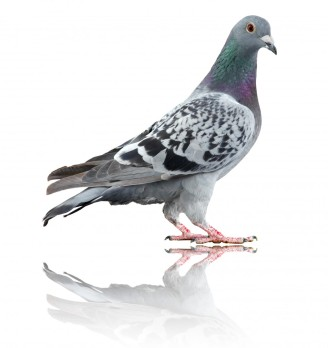 Blue Check Homing Pigeon.jpg