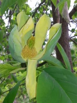 Cucumber Magnolia-2 B Porchuk