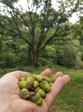 White Oak Acorns and Tree Form in Background - B Porchuk